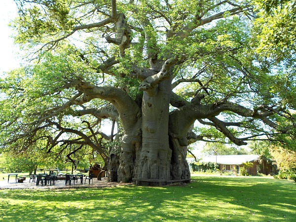 Betty White has nothing on this South African tree  : baobab2 resize from georgeclooneyslepthere.com size 600 x 450 jpeg 231kB
